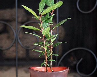 Live Sweet Bay - Laurus Nobilis - Indoor Bonsa - Free Shipping  w/Fertilizer Gift
