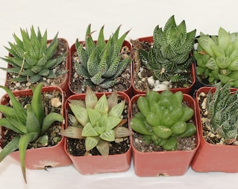 "9 Assorted Haworthias in 2"" containers potted great Variety of Succulent plants Collection Succulents FAVORS+"