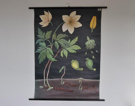 RESERVED. Original Mid Century Botany Print. Wind flower (Anemone nemorosa). Pull Down School Chart. Jung Koch Quentell. Germany.