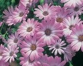 African Daisy, Ground Cover or Small Garden, Cheapseeds, 25 Seeds