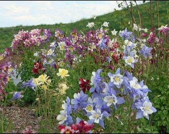 50% off! Columbine Flower Seeds, Perennial Mix, Cheapseeds, 25 Seeds