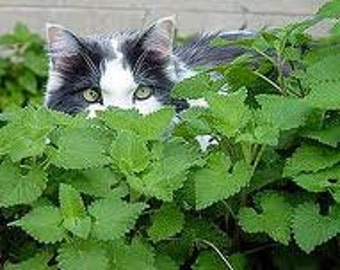 Catnip Herb, Seeds, Perennial, Treat Your Cat, 25 Seeds