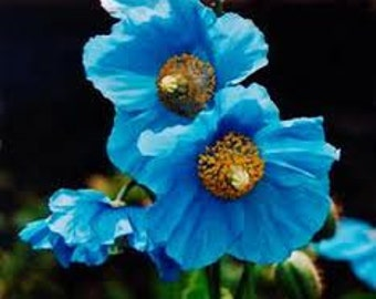 Rare Blue Poppy, Himalayan, Flowering Seed, Must See, 5 Seeds, Cheapseeds