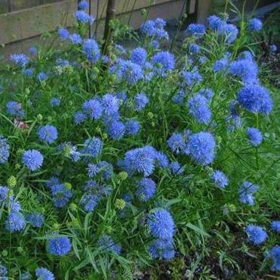 Globe Gilia, Blue Flower, Attract Butterfies, Blue Thimble Flower, 25 Seeds