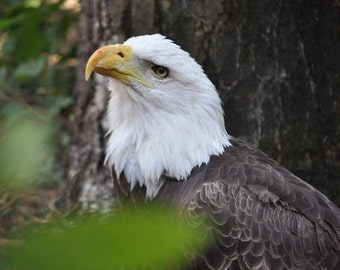 Bald Eagle Photo, White, Brown, and green, fine photography prints, A Noble Curiosity