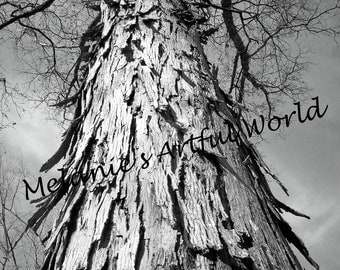 Tree Bark on Shagbark Hickory Tree and Branches, 8x10 photo