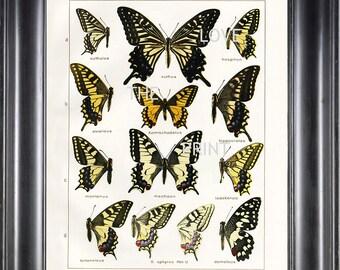 BUTTERFLY PRINT SEITZ  Botanical Art Print 3 Beautiful Butterflies  Xuthus Machaon and Montanus Yellow Summer Garden Nature