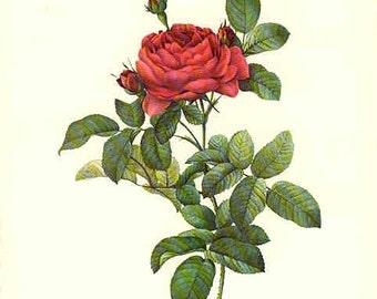 Redoute Botanical Rose Print  4