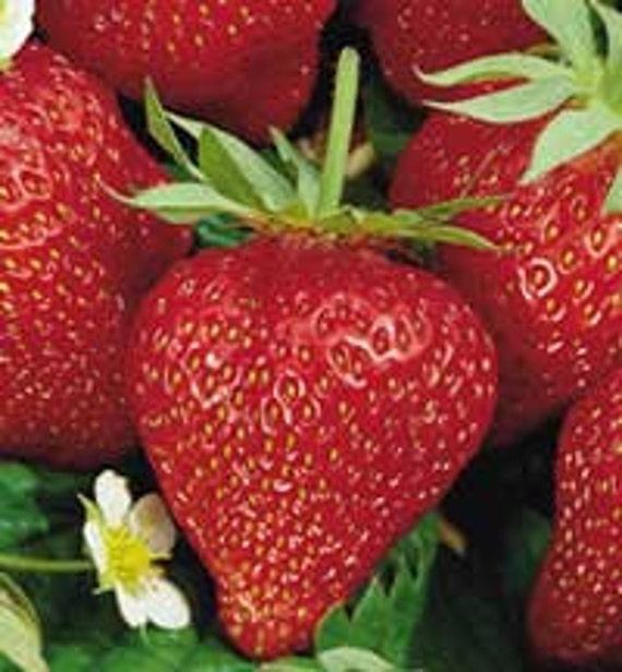 Ozark Beauty Rootstock - 20 Plants - Organic Production Practices