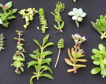 Collection of 12 Assortment Succulent Fresh Cuttings Great DIY Garden Succulent Arrangment