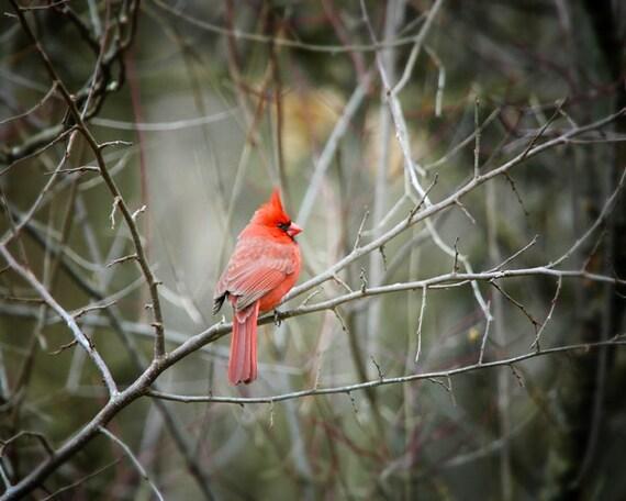 Items Similar To Cardinal Photo Print, Red Bird, Fine Art