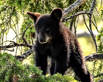 In the Trees--black bear, nursery decor, baby animal, forest, Yellowstone National Park, Wyoming