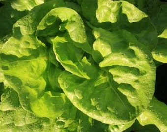 Buttercrunch Lettuce (Butter head lettuce)60+ seeds