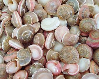 Pink Umbonium Seashells (appx. 230 pcs.) - Button Top Shells