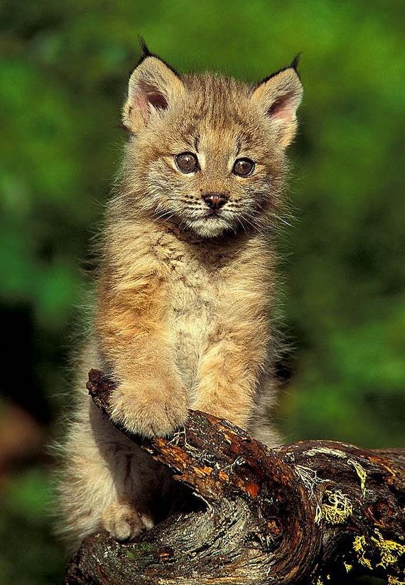 Lynx Kitten 8x10 Animal Photography Wildlife Nature  Lynx Kitten 8x1...