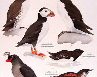 Common Murre, Common Puffin, Razorbill, Crested Auklet, etc. Vintage 1984 Bird Book Plate