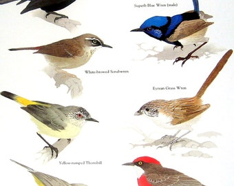 Australian Warblers - Silktail, Superb Blue Wren, Crimson Chat, Yellow Rumped Thornbill - 1984 Vintage Birds Book Page