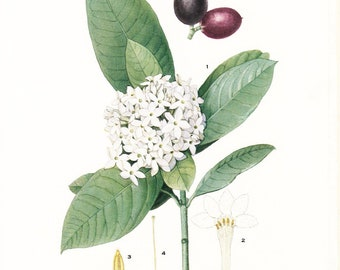 1925 Botany Print - Acokanthera Spectabilis - Winter Sweet - Vintage Antique Flower Art Illustration Book Plate for Framing