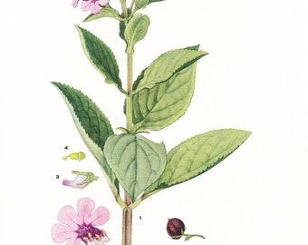 1926 Botany Print - Teedia Lucida - Vintage Antique Flower Art Illustration Book Plate for Framing