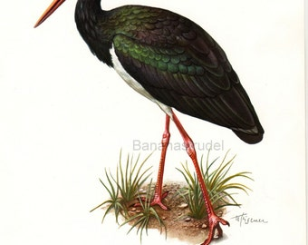 1962 German Vintage Print of the Black Stork