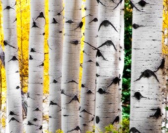 Aspen Trees Fall Colorado Aspens Forest Autumn Wall Art Woods Rustic Cabin Lodge Photograph
