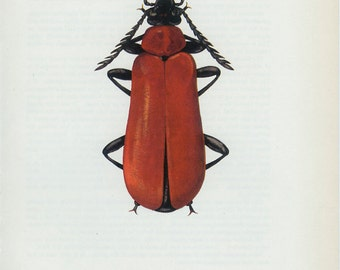 Vintage BEETLE Print, Red Cardinal, (99) Vladimir Bohac, 1965, Scarlet Beetle Bug, Creepy Crawly, Woodland Decor, Country Cottage Decor