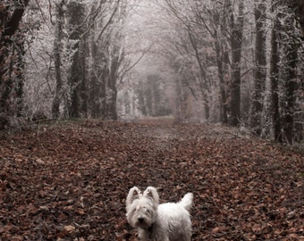 I am Crumpet 9 - Dog Photography - Westie - West Highland terrier - Wall Décor