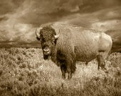 American Buffalo or Bison in Yellowstone National Park A Sepia Toned Black and White No.3586 Animal Photograph