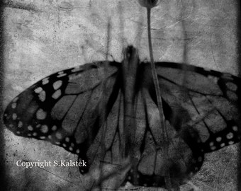 Butterfly Photograph Black and White Dreamy Surreal Butterfly Wings and Flower  nature wall decor 8x8