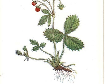 HEMLOCK and WILD STRAWBERRY 1Pl74,75 - Miniature Botanical Book Plate Edward Step 1930