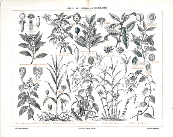 Cutting Plants Drawing Spice Plants Antique Print