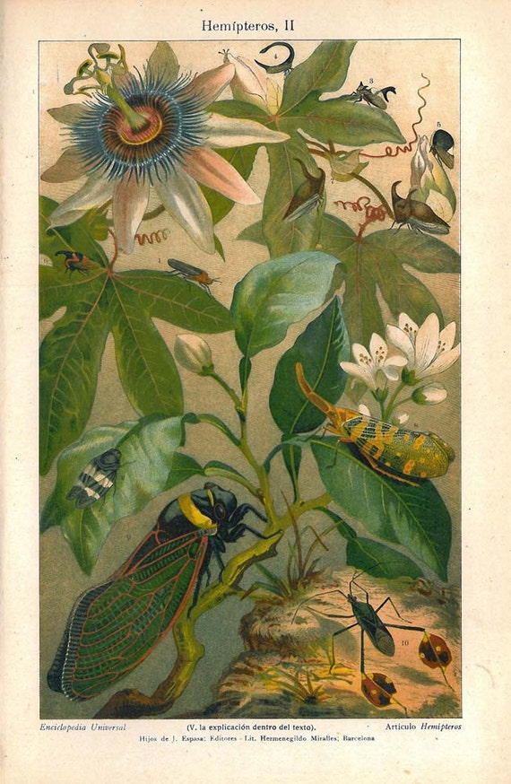 1920s  Insects Print Bugs Color Lithograph Hemiptera on a Passion Flower Vine