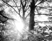 """Black and White Tree Print, 6"""" X 6"""" Sunlight in the Forest, Morning in the Forest, Tree Print, Tree Art, Tree Wall Art"""