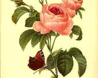 Redoute Botanical Print -  - RosaCentifolia - 117