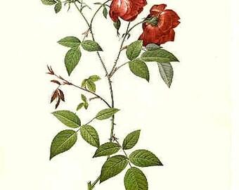 Redoute Botanical Rose Print  1