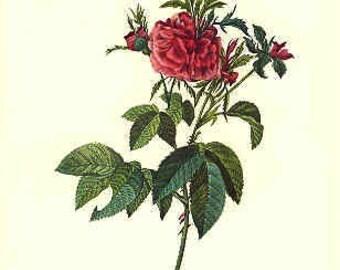 Redoute Botanical Rose Print  42