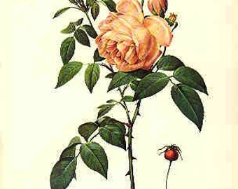 Redoute Botanical Rose Print  44