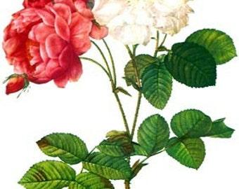 Redoute Botanical Rose Print  32