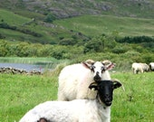 SHEEP LOVE,  Irish Nature Photo, Connemara Co. Galway IRELAND, Rural Landscape Photography, Irish Farm Life,Gift for Animal Lover or Knitter