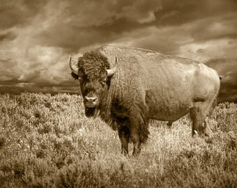 "American Buffalo, Bison Wildlife, Yellowstone Park, National Park, Sepia Toned, American Icon, Landscape Photograph, ""American Buffalo"""