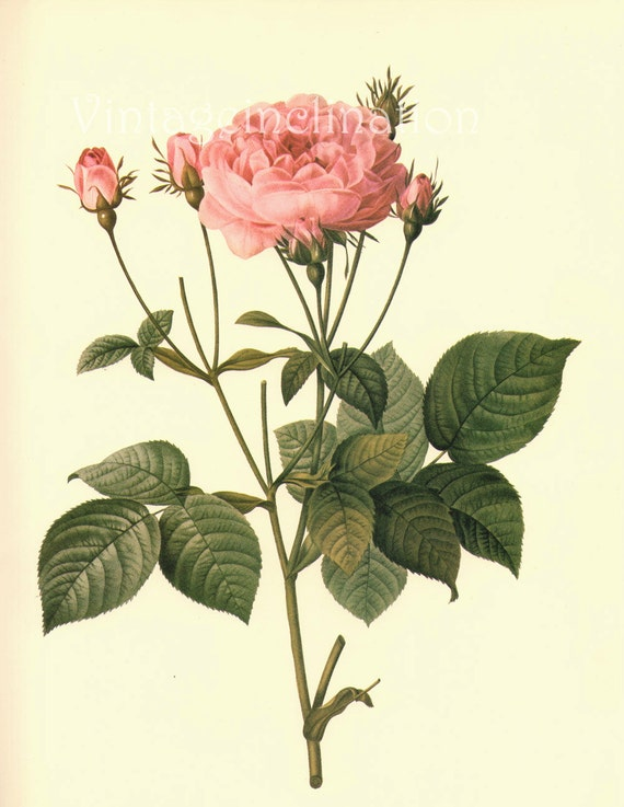 LARGE Vintage Victorian Old ROSES 18th Century Botanical Floral bookplate page print to frame, decoupage scrapbooking