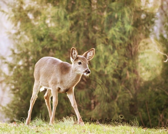 Items similar to Deer Photo, Yearling Baby Animal Fawn ...