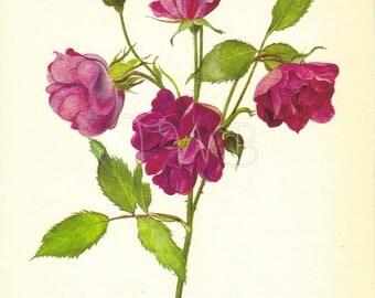 SALE Rose Print, botanical floral flower Print, Wall Decor, Art Illustration to Frame, Book plate, Eva, Carmine, Red, Botanicals, A-4