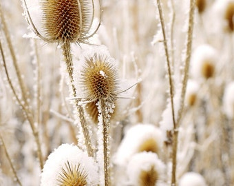 Snowy Thistle Frosty Colorado Winter Snow Floral Frost Forest 11x14 Rustic Cabin Lodge Photograph