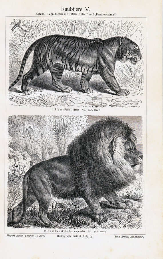 1908 Edwardian WILD CAT print, various species wild cats: lynx, hyena, tiger and lion, Antique zoology lithograph