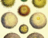 Edible Sea Urchins Seba Conchology Natural History Seashell Lithograph Chart Poster Print