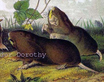 Canada Pouched Rat Audubon Wild Animal Art Print Natural History Lithograph To Frame