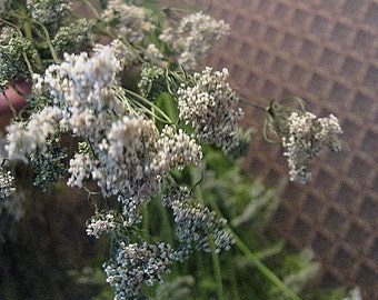 GROUND ELDER  naturally DRiED Herb and Flower Bunches