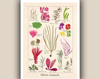 Marine Natural History Atlantic Seaweeds  Print, A3 poster Botanical Art, seaweed pressings, LARGE PRINT, Nautical Art