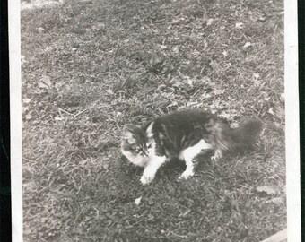 vintage photo Mancoon Kitten Cat in Grass 1910